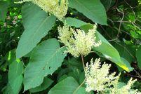 Bild Staudenknöterich - Blatt und Blüte
