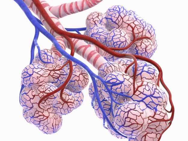 Alveolus model
