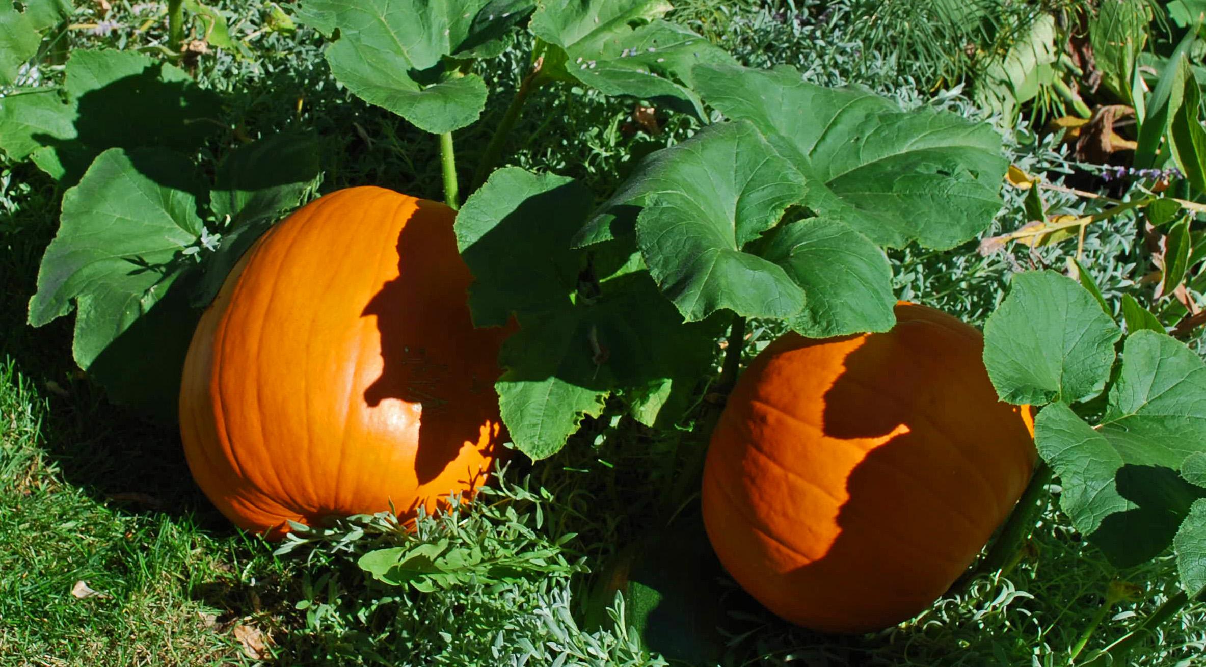 16 Months In The Life Of Miss Wilson S Pumpkin
