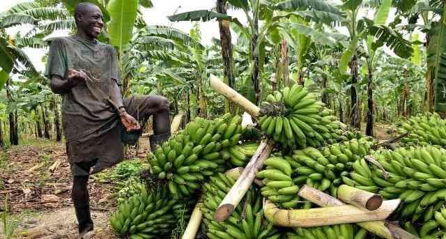 Banana platform