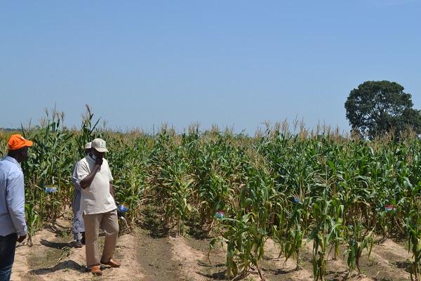 TELA Maize CFT field