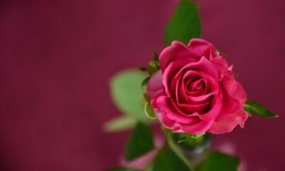 rose-693152_1280