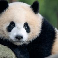 El pulgar del panda evoluciona