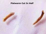 Flatworm Reproduction and Regeneration Kid Science from
