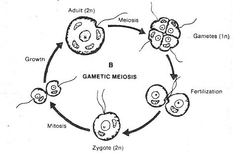 gametic-meiosis
