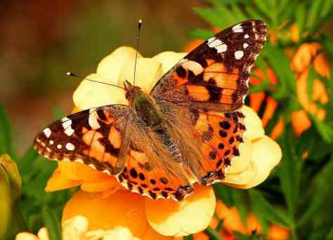 The_painted_lady_Vanessa_cardui