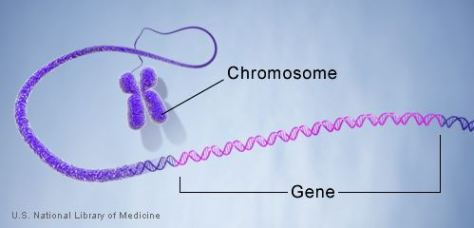 gene_in_a_chromosome