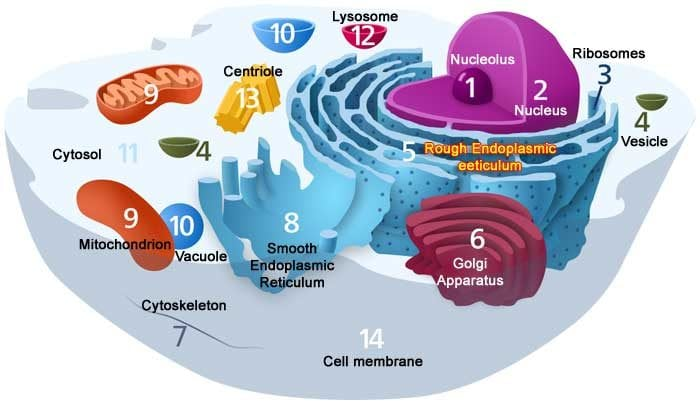 Plant Cells Diagram Labeled Plant Cell