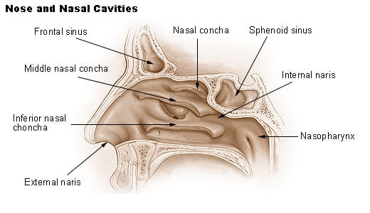 diagram of the nose and its functions 1950 ford car wiring pharynx function definition science trends image source wikipedia