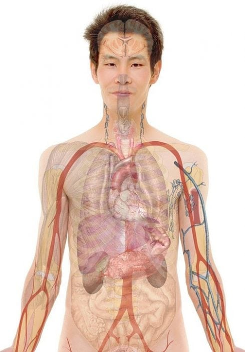 skin anatomy diagram labeled house wiring symbols uk body organs: maps and diagrams | science trends