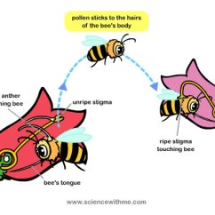 Cross Pollination Diagram For Kids Kenwood Kdc 155u Wiring Learn About Pollen Acts As The Main Component In Helping Flowers And Plants Create Seeds That Grow Into Fruits