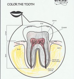 bones diagram with labels bones free engine image for a simple diagram of tooth tooth anatomy diagram [ 850 x 1169 Pixel ]
