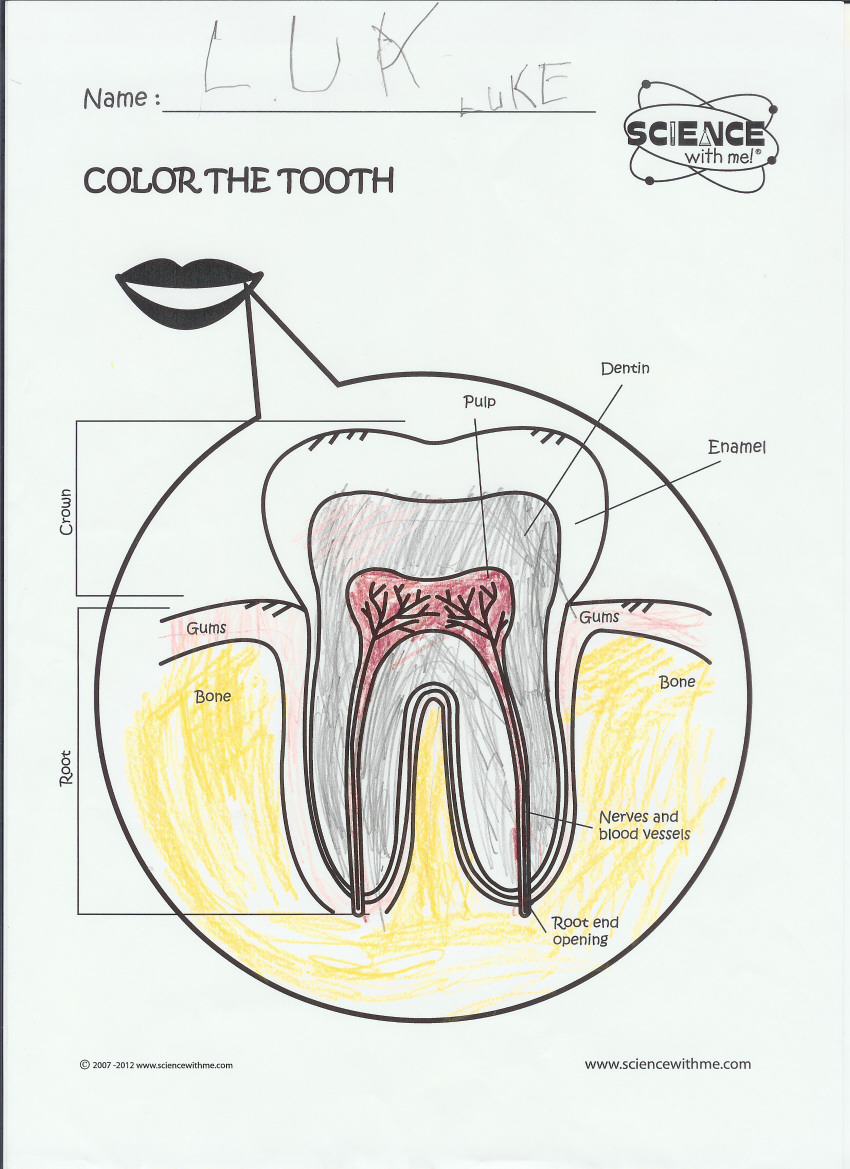 medium resolution of bones diagram with labels bones free engine image for a simple diagram of tooth tooth anatomy diagram