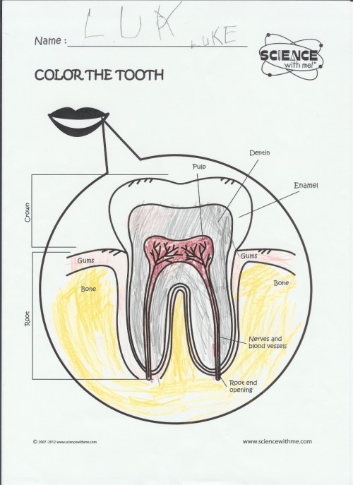 small resolution of bones diagram with labels bones free engine image for a simple diagram of tooth tooth anatomy diagram