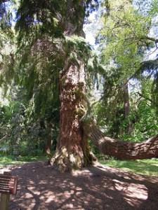 Photograph of Douglas fir.