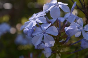 Photograph of the flowers of blue plumbago.