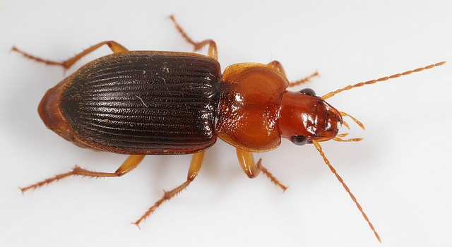 Mystery Creature Reveal – the Bombardier Beetle