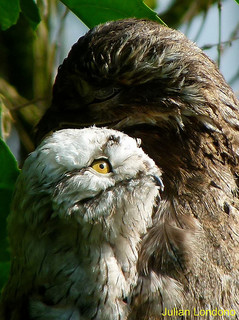 Mystery Creature reveal… the Potoo