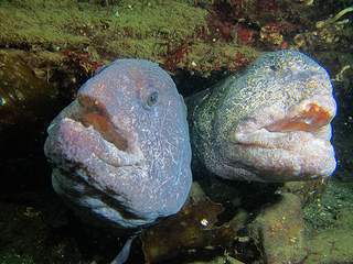 Mystery Creature reveal – the Wolf Eel