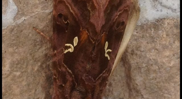 Mystery Creature Revealed – the Beautiful Golden Y moth