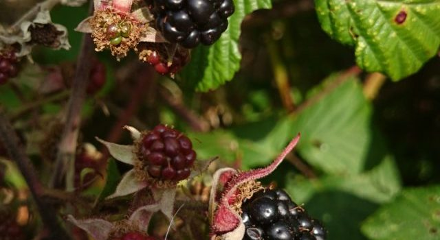 Silent Snaps – Blackberry picking and jam making