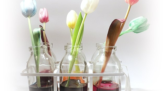 Coloured flower science experiment using tulips