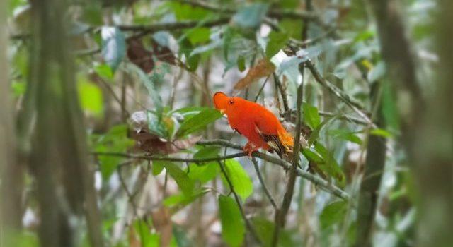 Mystery Creature revealed – Guianan Cock-of-the-rock (Rupicola rupicola)