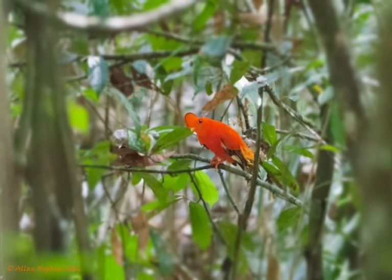 Guianan Cock-of-the-rock; Image credit: Allan Hopkins