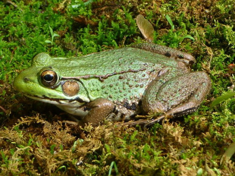 Northern_Green_Frog