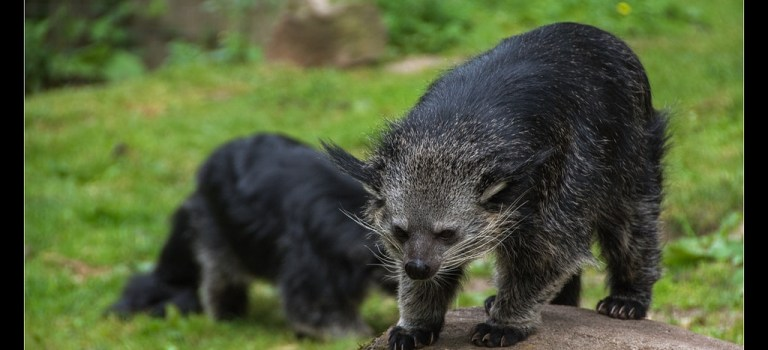 Mystery Creature revealed – the binturong