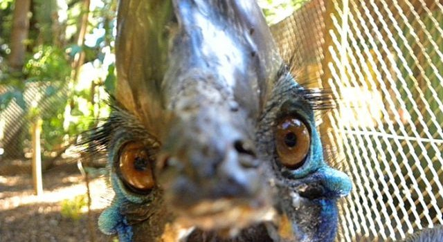 Mystery Creature revealed – the Cassowary