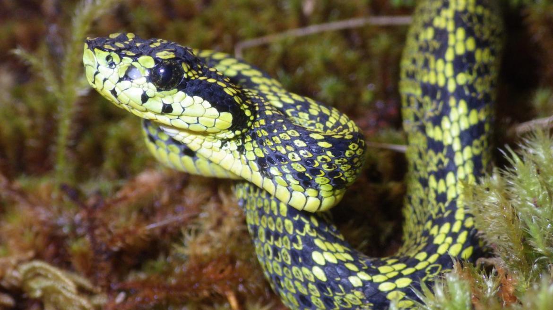 New venomous snake discovered in Costa Rica