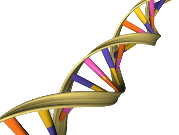 A depiction of the double helical structure of DNA. Its four coding units (A, T, C, G) are color-coded in pink, orange, purple and yellow. Credit: NHGRI