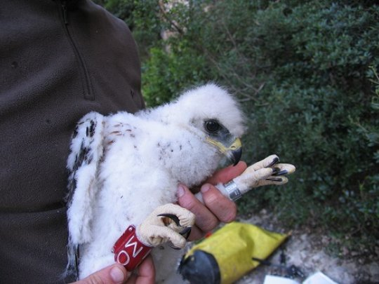 Image of the ringed bird in 2008 –baby bird 0M- that died due electrocution in 2014 in a high power line density area in Penedès. Credit: Conservation Biology Group of the University of Barcelona and the IRBio