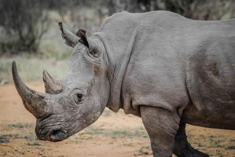 africa wildlife wilderness rhino