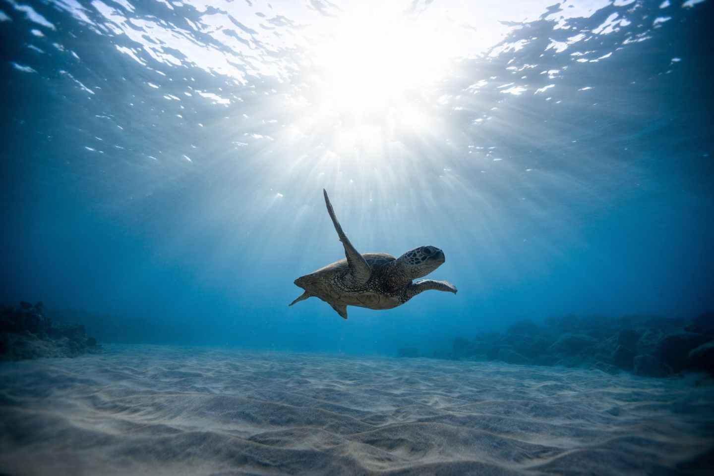 underwater photography of turtle