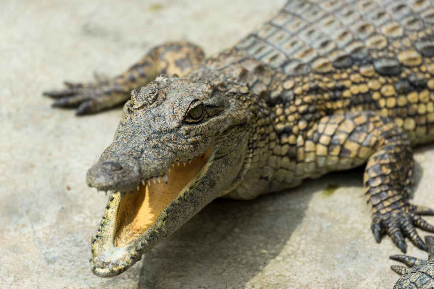 close up photography a crocodile with its mouth open