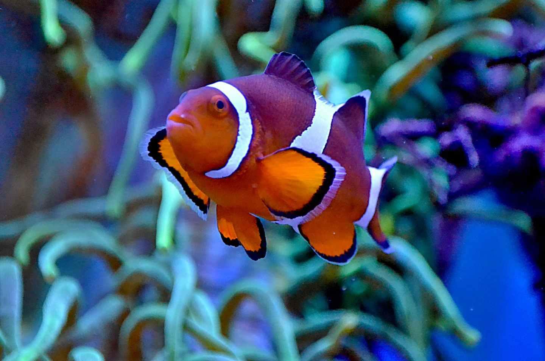 bright exotic anemonefish swimming in aquarium