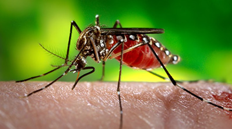Mosquito sterilization offers new opportunity to control chikungunya, dengue, and Zika