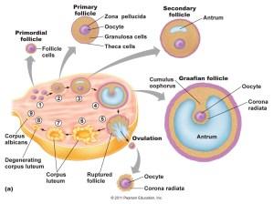 [Scienze  Immagini] Sistema Endocrino | Scienze Applicate