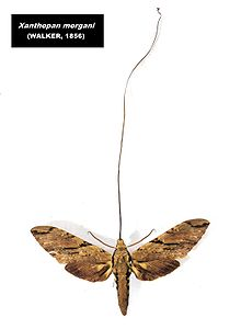 Xanthopan Morganii Praedicta