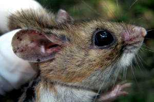 <strong>White-footed mouse with tick larvae embedded in ear. From: https://lymediseaseguide.org/wp-content/uploads/2014/02/white-footed-mouse-oral-bait-vacinne-lyme-disease-300x199.jpg</strong>
