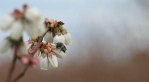 Burrack-Andrena-bradleyi