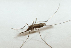 A female Anopheles quadrimaticulatis mosquito. This species occurs throughout the eastern United States and is a potential carrier of the malaria parasite. Picture from: https://extension.entm.purdue.edu/publichealth/insects/mosquito.html and taken by Edward McCellan, Center for Disease Control and Prevention