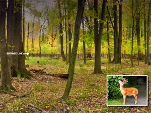 Forest in Ohio under heavy pressure from white-tailed deer. Note the lack of seedlings in the forest understory due to browsing by deer. Photo source: https://www.lakemetroparks.com/news/projectsinyourparks.shtml.
