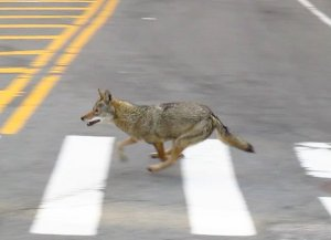Coyote avoiding capture in New York City. Photo credit: BMR Breaking News.
