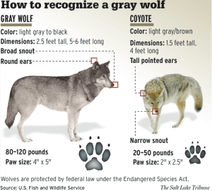 """source: """"USFWS - How to recognise a gray wolf"""" by Washington Department of Fish and Wildlife - Wiles, G. J., H. L. Allen, and G. E. Hayes. 2011. Wolf conservation and management plan for Washington. Washington Department of Fish and Wildlife, Olympia, Washington. 297 pp.. Licensed under Public Domain via Wikimedia Commons - https://commons.wikimedia.org/wiki/File:USFWS_-_How_to_recognise_a_gray_wolf.png#/media/File:USFWS_-_How_to_recognise_a_gray_wolf.png."""