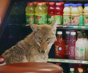 Coyote that sought the cooling temperatures of a refrigerated container in a Quiznos in Chicago on a hot summer day. Photo source: https://consumerist.com/2007/04/04/downtown-chicago-quiznos-infested-with-coyotes/.