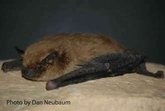 Big Brown Bat (Eptesicus fuscus).