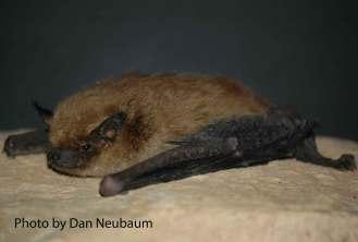 Big Brown Bat (Eptesicus fuscus).